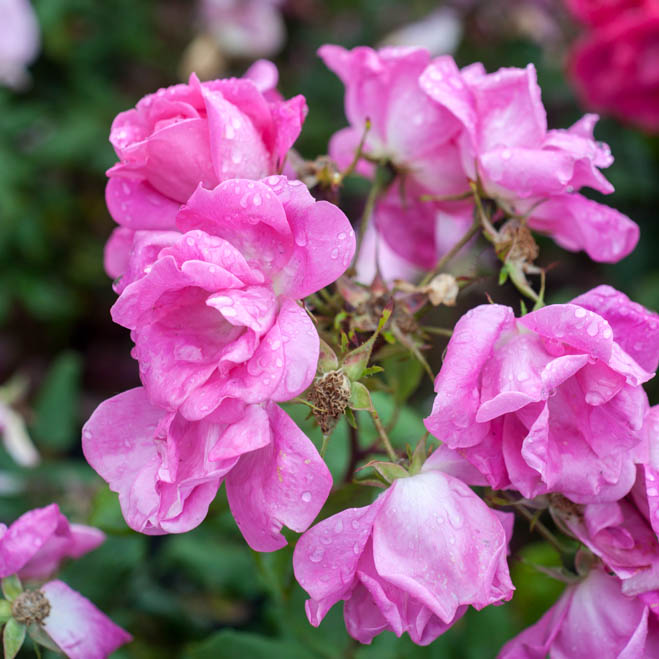 rosas-para-volver-3396ce