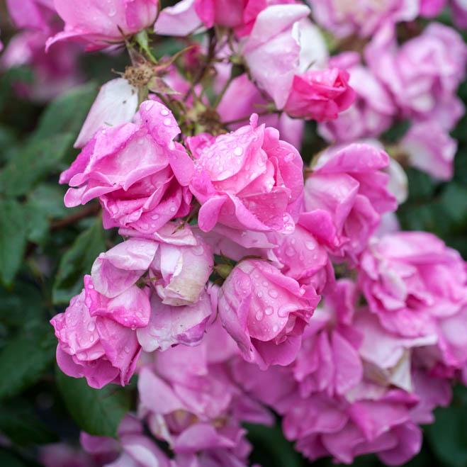 rosas-para-volver-97b2f7