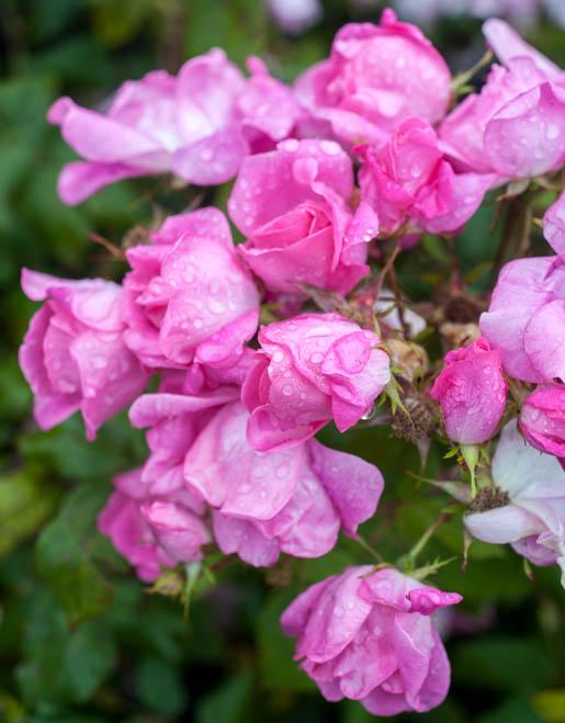rosas-para-volver-c85f59