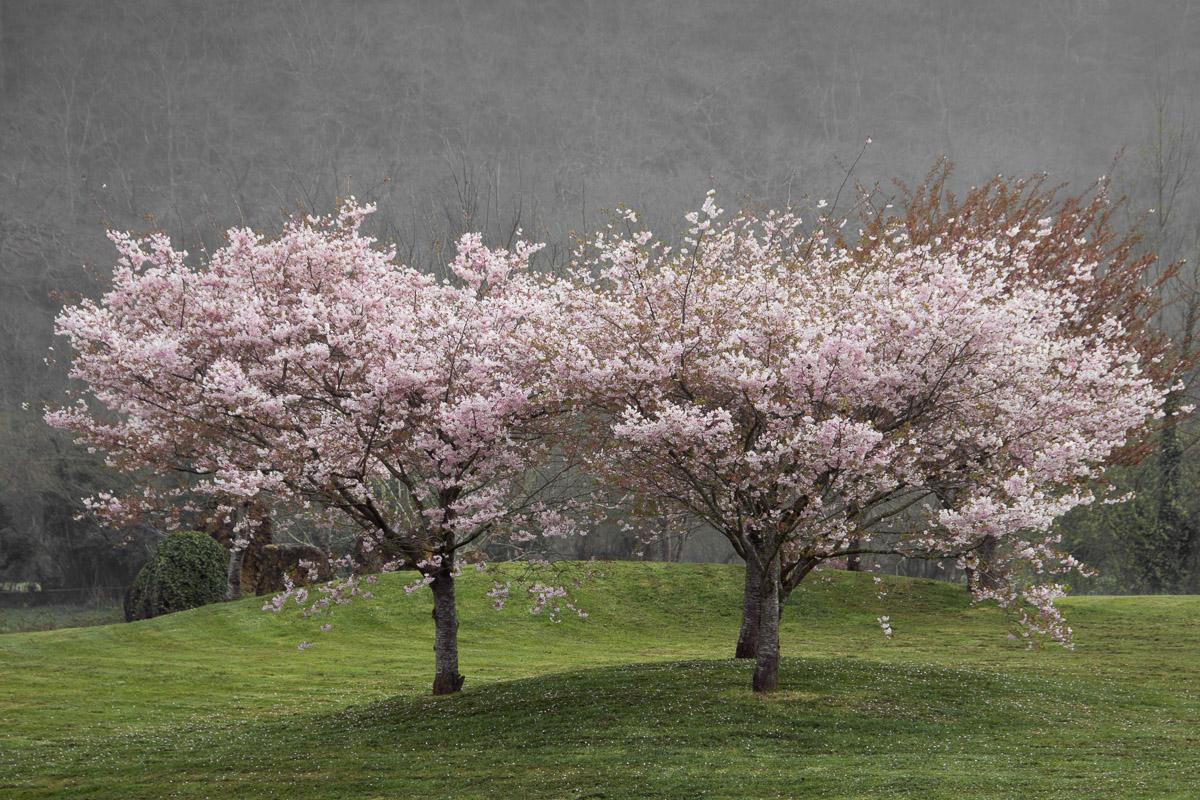 Árboles en flor en Cangas de Onís, Asturias