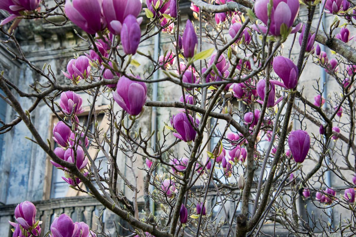 Flores de Magnolia en La Concepción, casa de indianos en Llanes, Asturias