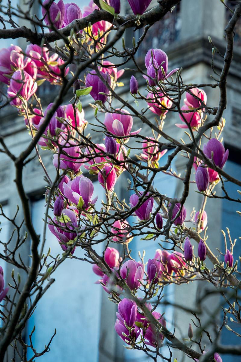 Flores de magnolia en La Concepción, Llanes