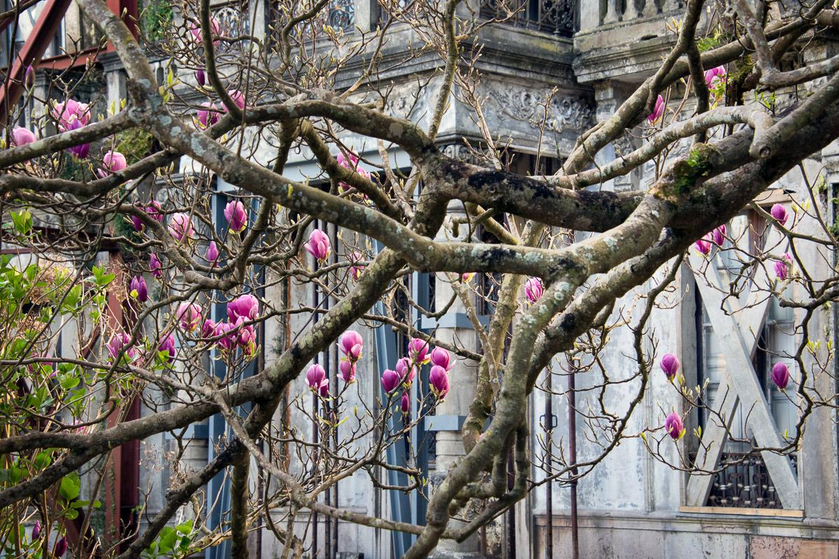 Flores de Magnolia en la casa de indianos de Llanes La Concepción