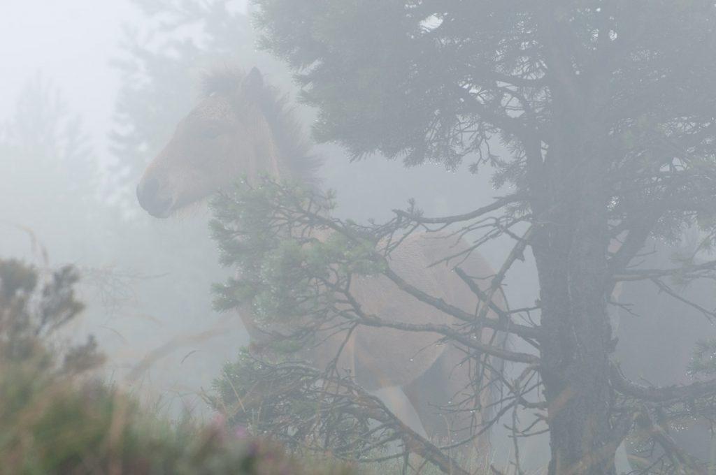 Potro en la niebla de la Sierra de La Bobia en Asturias