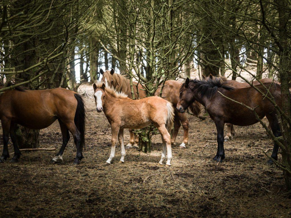 Manada de caballos en la Sierra de La Bobia en Asturias