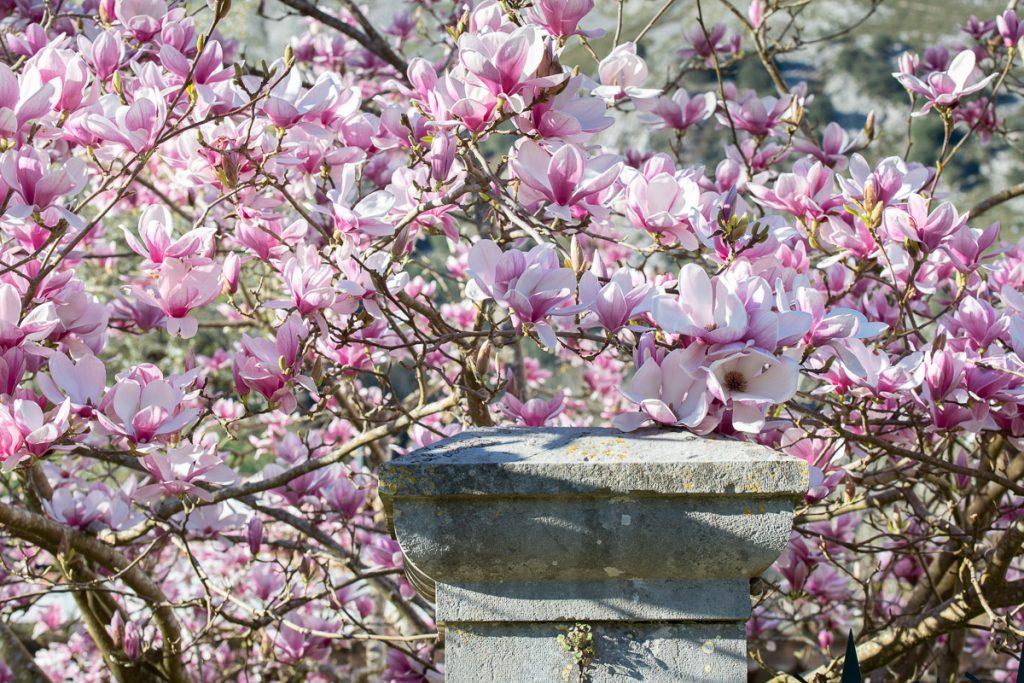 Magnolia en flor de la casa de indianos El Pedrero