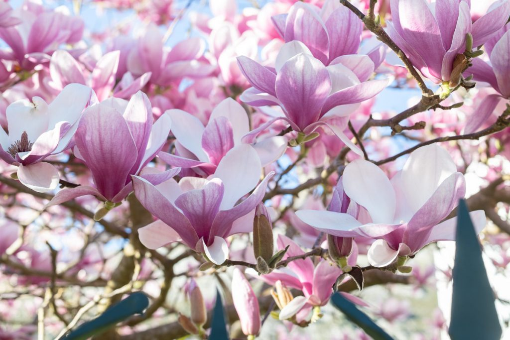 Detalle de las flores de la magnolia en Llanes